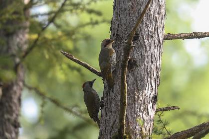 落葉松の幹にとまるアオゲラ