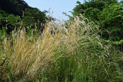 ライ麦栽培