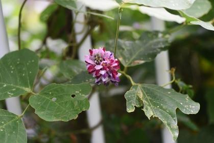 秋の七草・クズの花