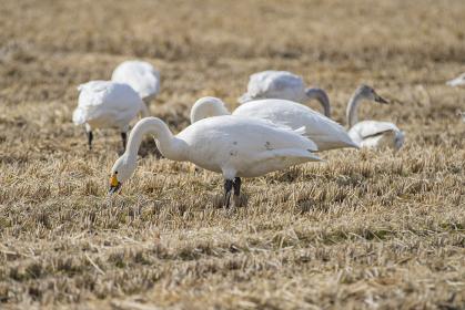 長野県駒ケ根市 休耕田で冬を越す白鳥の群れ