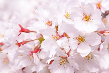 桜の花びらの背景素材