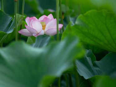 朝の光を浴びる蓮の花 7月