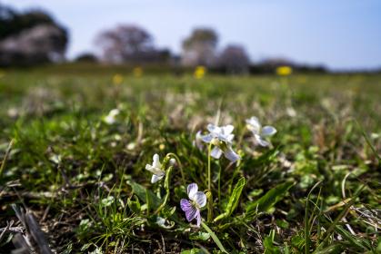 スミレ咲く平城宮跡歴史公園
