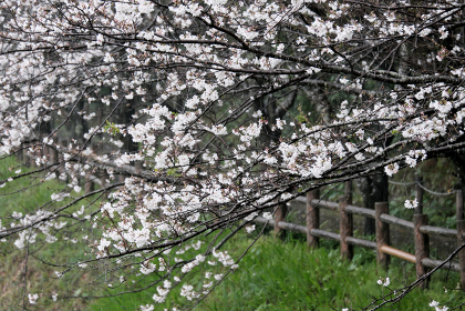 桜の木に雨が舞い降りる静かな時間
