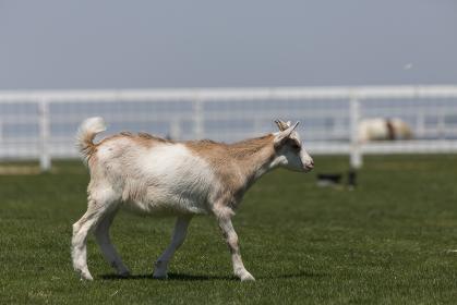 牧場のヤギ