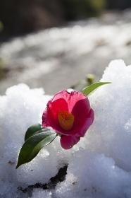 雪とツバキの花