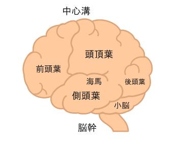 脳 名称 線無し