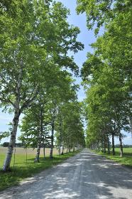 白樺並木の道