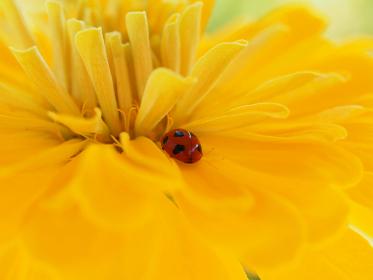 赤いてんとう虫と黄色いマリーゴールド