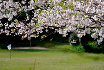満開の桜とゲートボールの風景