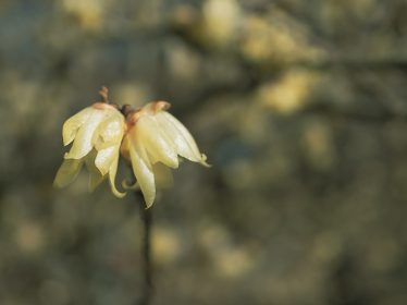 冬晴れの日の満開のロウバイ 1月
