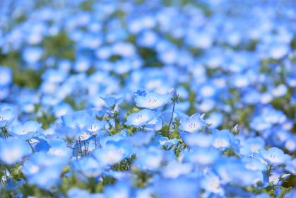 一面に広がる満開の瑠璃唐草の花畑