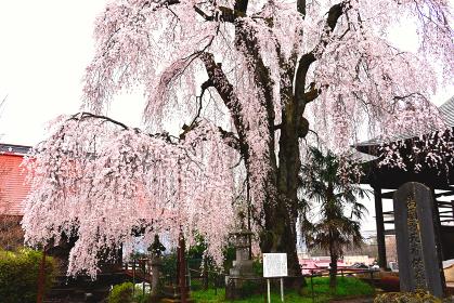 群馬県中之条 林昌寺のしだれ桜