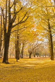 秋の公園 イチョウ