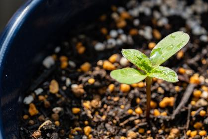 植木鉢の若葉