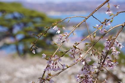 桜越しの松島海岸の風景、宮城県松島町