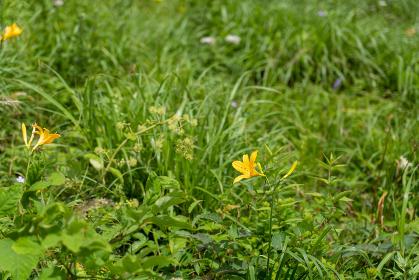夏の車山高原に咲く高山植物