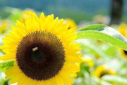 ヒマワリ畑と蜜蜂の風景