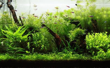 水槽内の水草と熱帯魚