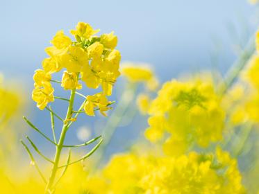 菜の花のクローズアップ 2月