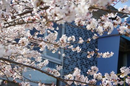 宮城県石巻市、日和山公園の桜