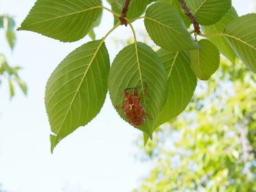 桜の葉裏にしがみつくセミの抜け殻