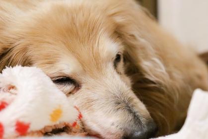 眠る18歳の老犬 ミニチュアダックスフント