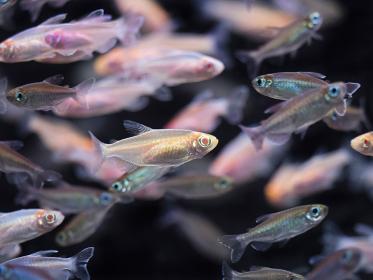 熱帯魚 アルビノコンゴーテトラ