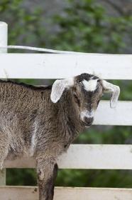 牧場の山羊