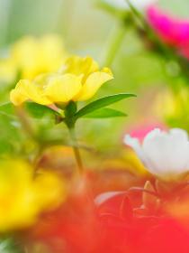 カラフルな小さい花ハナスベリヒユ