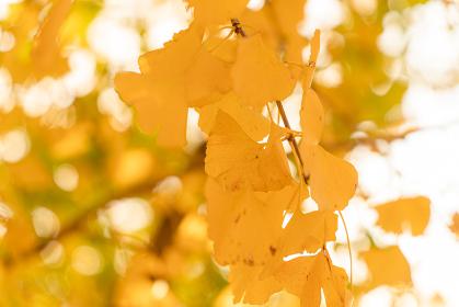 イチョウの葉の黄色い絨毯