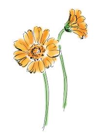 手描きイラスト素材 植物 花, ガーベラ, オレンジ