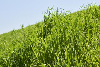 土手を覆う緑の草むら