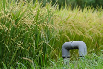 水田の田んぼですくすく成長する稲穂