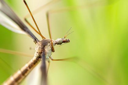 草にとまっているガガンボ