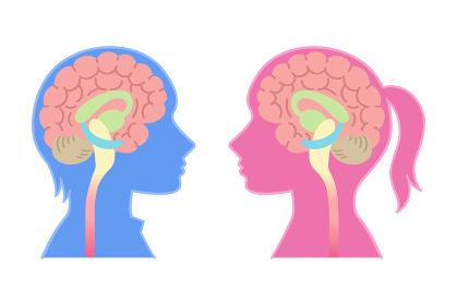 男性脳と女性脳の図表イラスト(心理学・脳のしくみ・背景なし)
