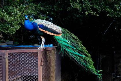 動物ポートレート:美しい羽根の孔雀 インドクジャクのオスの写真 全身