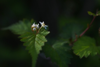 コゴメウツギ(小米空木)の花