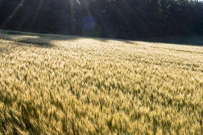 美瑛・パノラマロードの麦畑
