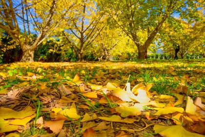 黄金色で地面を染めた綺麗なイチョウの絨毯【福岡県】