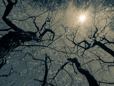 梅の木の枝ぶり モノクローム写真