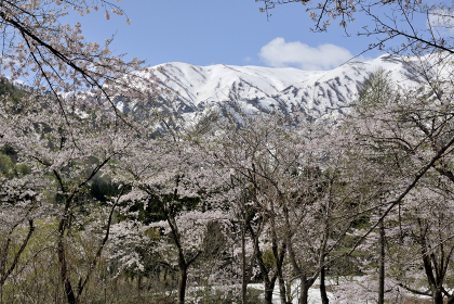 桜と残雪のコラボ