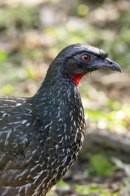 Beautiful black bird with red neck in Atlantic Rainforest vegetation , Penedo, RJ, Brazil