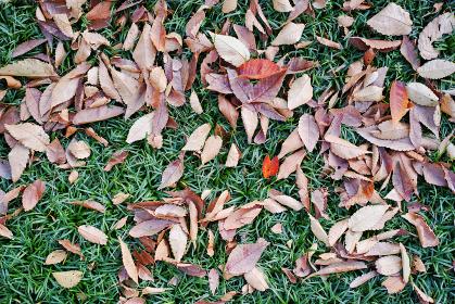 タマリュウの上に散った茶色い落ち葉