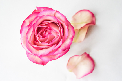 薔薇(バラ)・上アングル・落ちた花びら