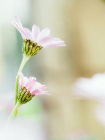 デイジーに似た白い花ローダンセマム