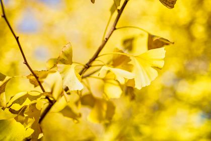 綺麗な黄金色のイチョウのクローズアップ