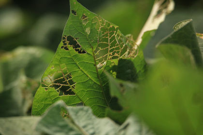 虫に食べられたサツマイモの葉