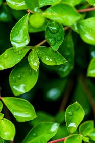 水滴と新緑の葉