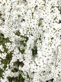 ユキヤナギの花 1 縦